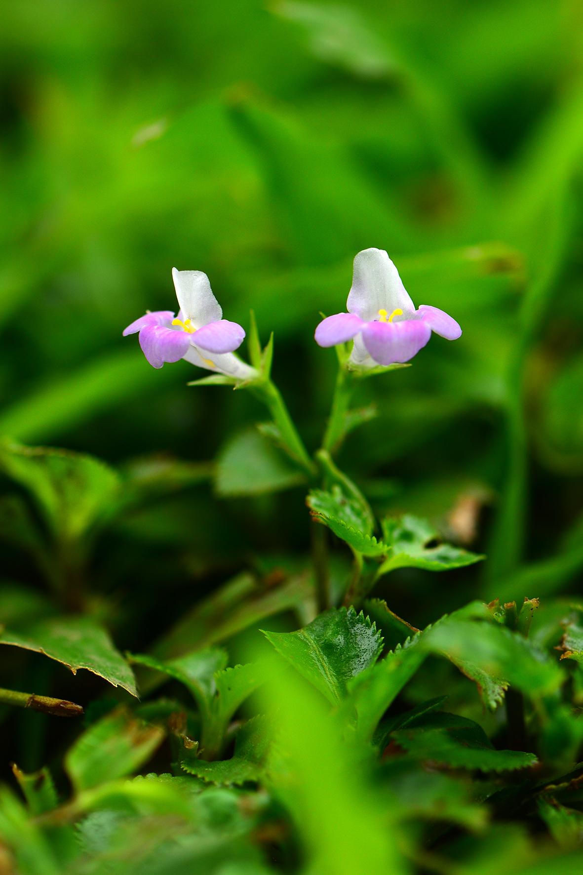 旱田草(Lindernia ruellioides).JPG