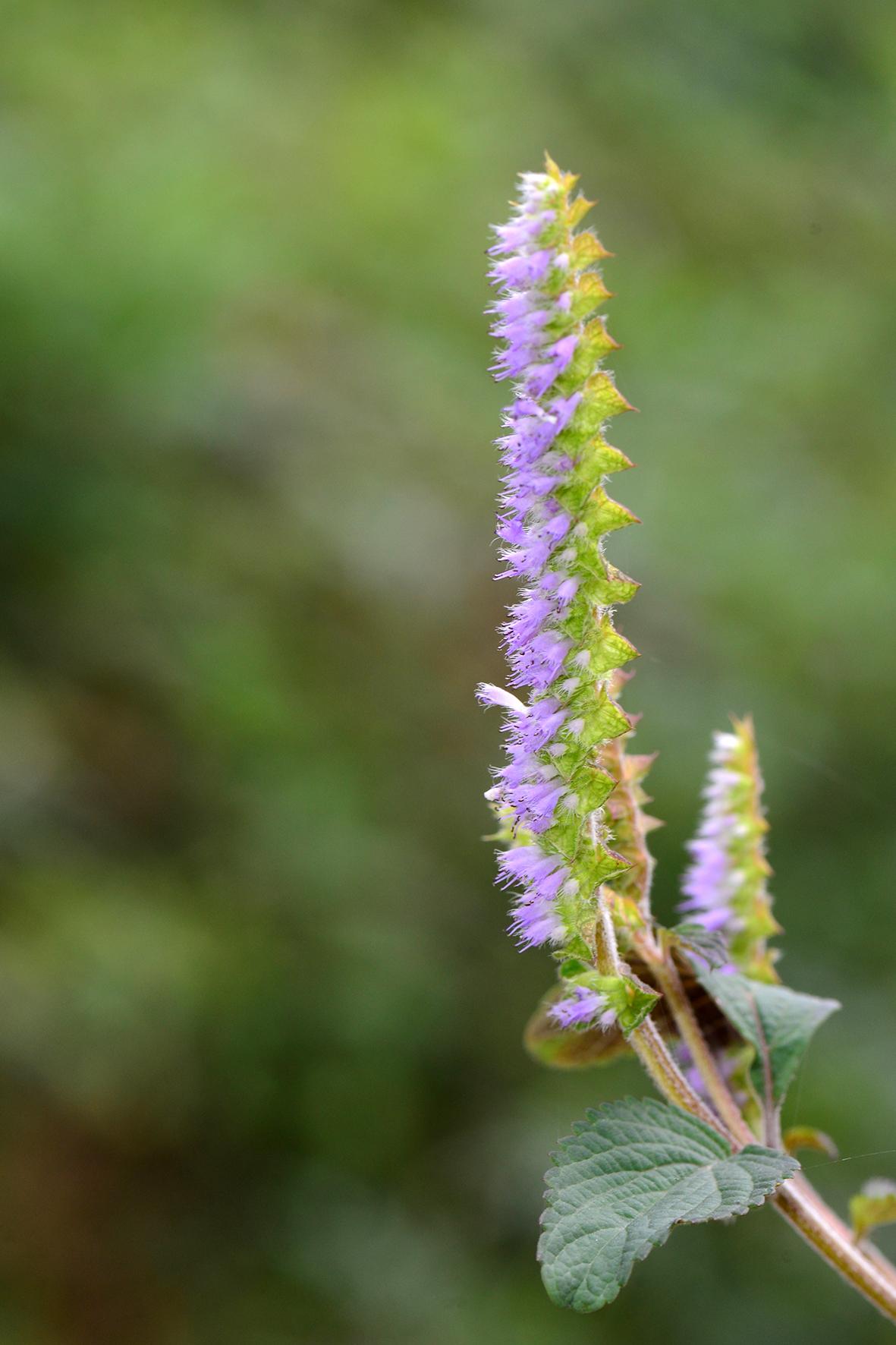 香薷(Elsholtzia ciliata).JPG