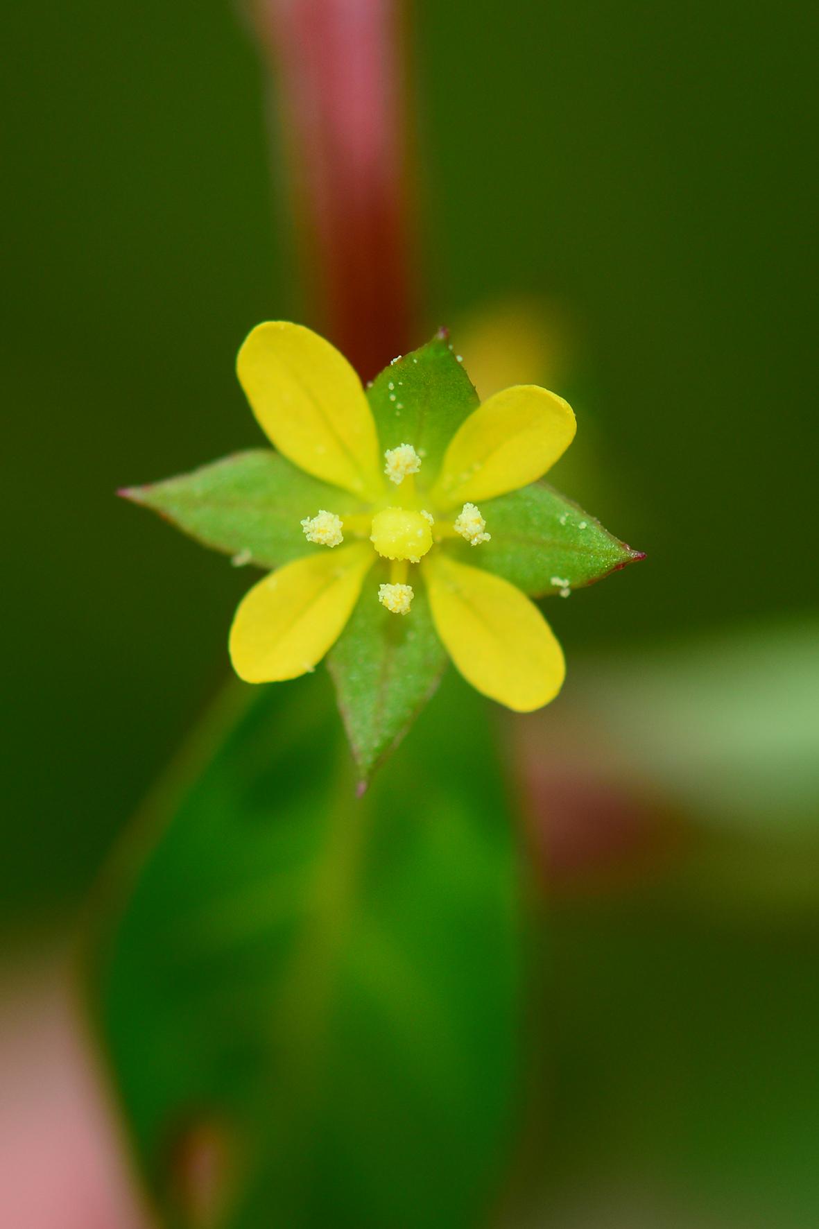 丁香蓼(Ludwigia prostrata).JPG