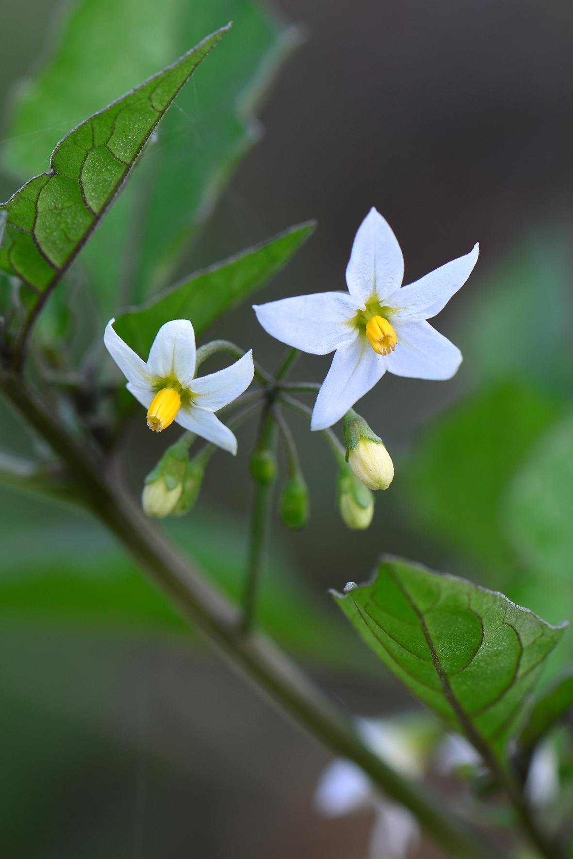 龙葵(Solanum nigrum).JPG
