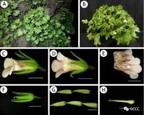 桂林植物园在广西石灰岩地区发现苦苣苔科新种