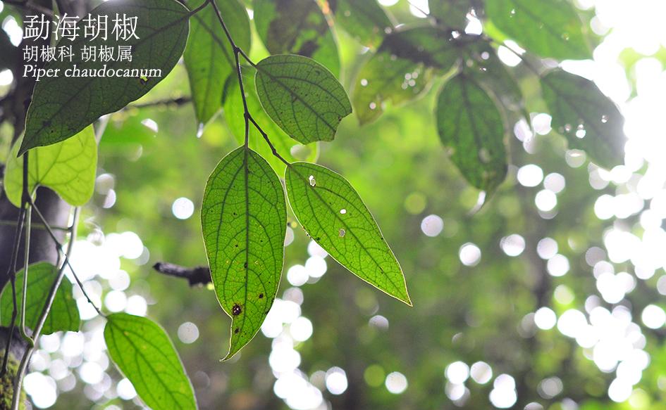 胡椒科-胡椒属-勐海胡椒(Piper chaudocanum).JPG