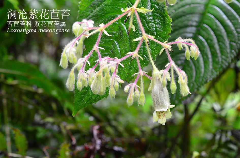 苦苣苔科-紫花苣苔属-澜沧紫花苣苔(Loxostigma mekongense).JPG