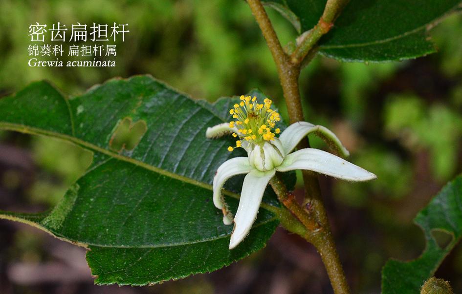 锦葵科-扁担杆属-密齿扁担杆(Grewia acuminata).JPG