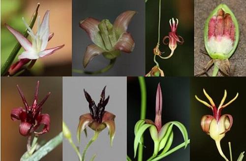 昆明植物研究所完成泰国百部科植物多样性考察