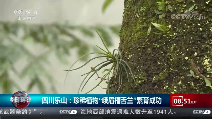"""[今日环球]四川乐山:珍稀植物""""峨眉槽舌兰""""繁育成功"""