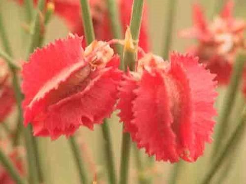 沙拐枣属植物--吐鲁番沙漠植物园的镇园之宝